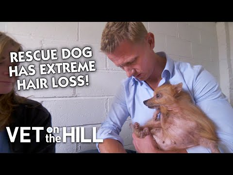 Pomeranian Malnourished with Extreme Hair Loss | Classic Clip | Vet on the Hill